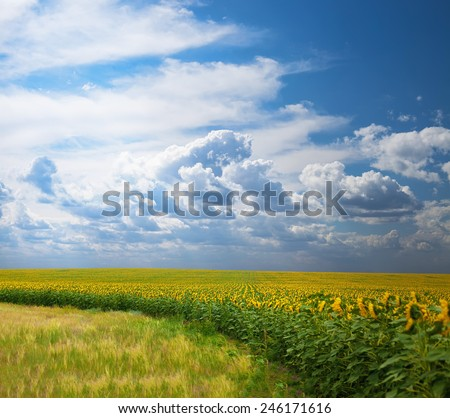Sunset over the field of sunflowers against a cloudy sky - stock photo