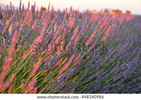 sunset over the hills of lavender and wheat fields with pink flowers of Provence in southern France in the Alps of the French Riviera in the summer - stock photo