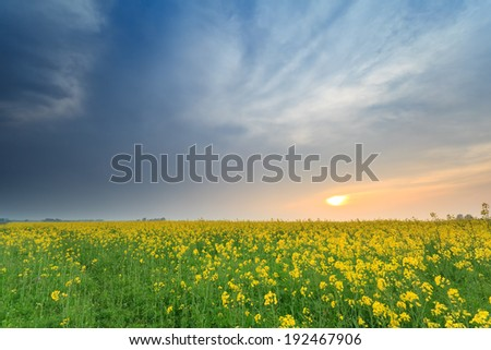 sunset over yellow rapeseed flower field in spring