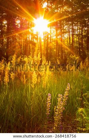 Sunset Sunlight In Green Forest, Summer Nature - stock photo