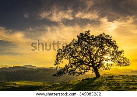 Sunset through an oak tree near San Jose California - stock photo