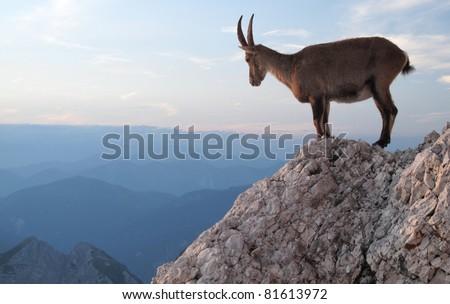 sunset with mountain goat - Alpine Ibex - in Julian Alps - stock photo