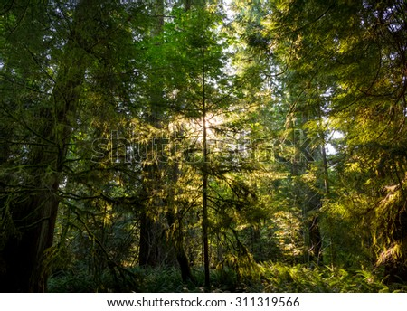 Sunshine bursting through the canopy & around a tree creating a silhouette & backlighting the leaves at Cathedral Grove, Vancouver Island, Canada,  - stock photo