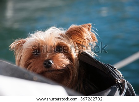 Sunshine dog. Cute yorkshire terrier resting in a bag in a restaurant window. Mallorca, Balearic islands, Spain in November. - stock photo