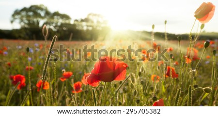 Sunshine poppy field landscape in morning spring sunlight - stock photo