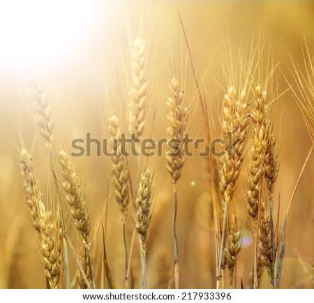 Sunshine wheat field - stock photo