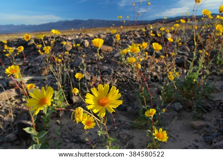 Super bloom of wildflowers, desert sunflower, Death Valley National Park, California, Spring 2016 - stock photo