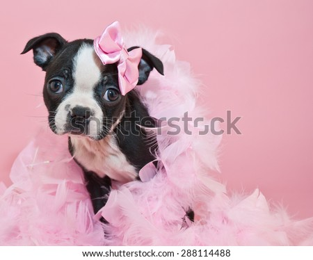 Fantastic Terrier Bow Adorable Dog - stock-photo-super-cute-boston-terrier-puppy-wearing-a-boa-and-a-little-pink-bow-on-a-pink-background-288114488  Perfect Image Reference_793269  .jpg