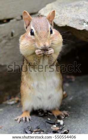 Super cute female chipmunk filling her cheek pouches with sunflower seeds
