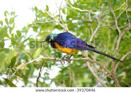 superb starling - stock photo