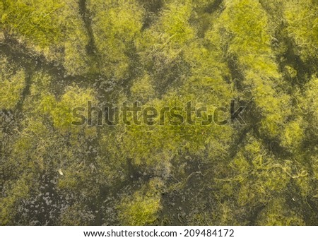 Surface of the lake with algae polluted water