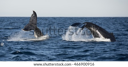 Surfers Paradise Queensland, hump backed whales