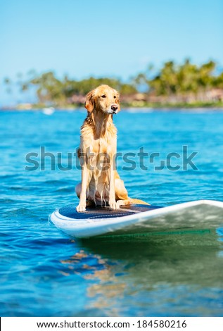 Surfing Dog, Happy Young Golden Retriever on Surf Board - stock photo