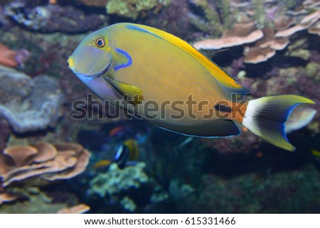 Surgeon Fish in Nature Background