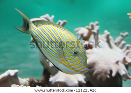 surgeon in Bank of coral fish epulopiscium - stock photo
