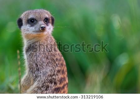 Suricata suricatta - stock photo