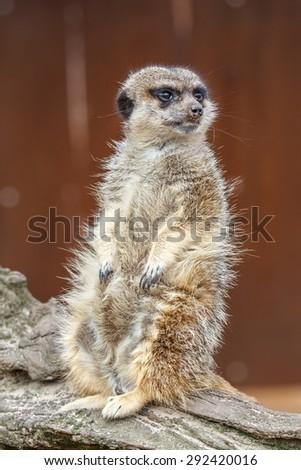 Suricata suricatta. Meerkat sitting and watching. - stock photo