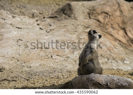 suricate on alert - stock photo