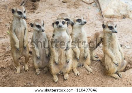 Suricate or meerkat - stock photo