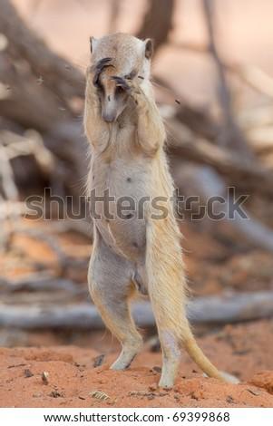 Suricate or meerkat, Kalahari Desert, South Africa - stock photo