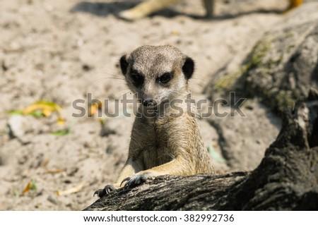 Suricate or meerkat (Suricata suricatta) in zoo looking out - stock photo