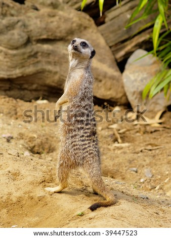 Suricate, photo was taken in Longleat Safari Park