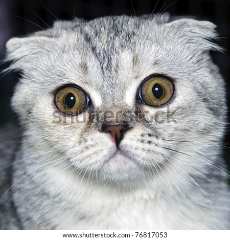 surprised cat Scottish lop-eared - stock photo