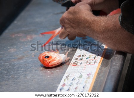 Surprised eye of a beautiful orange red snapper fish watching an older fisherman cleaning the rest of his beheaded body, Kiama, NSW, Australia - stock photo