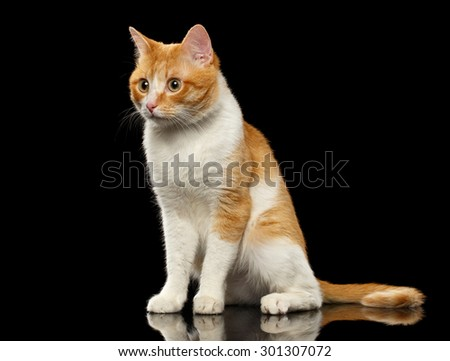 Surprised Ginger Cat Sits on Black Mirror background  - stock photo