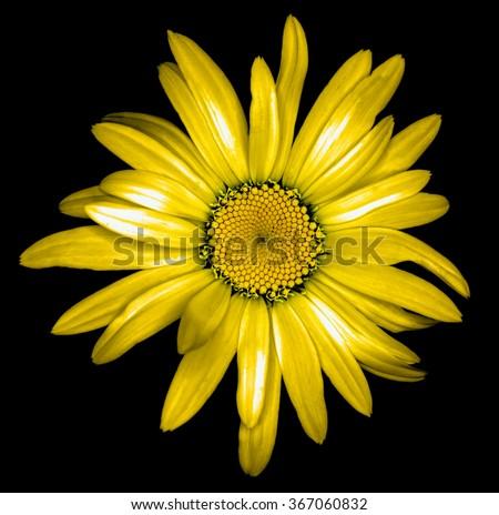 Surreal dark chrome golden daisy flower macro isolated on black - stock photo