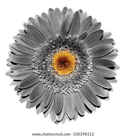 Surreal dark chrome grey gerbera flower macro isolated on white - stock photo