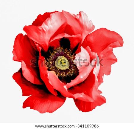 Surreal dark chrome red poppy flower macro isolated on white - stock photo