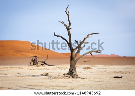 Surrealistic view to Dead Acacias in Dead Valley, Namibia, Africa early at sunrise on a dry ancient lake bottom surrounded with orange dunes