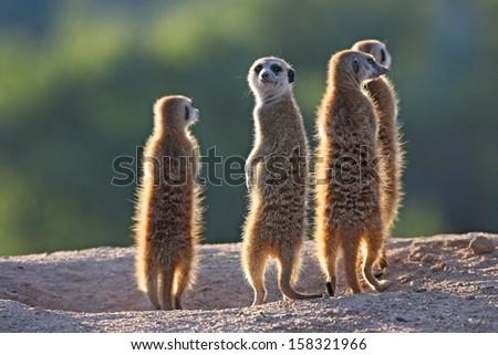 Surricate meerkats standing upright - stock photo