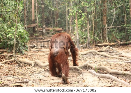 Surviving Borneo is a challenge for Orangutans when their habitat gets destroyed by giant Palm Oil industries.  - stock photo