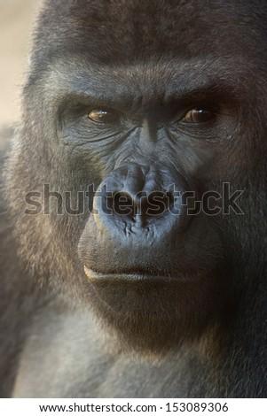 suspicious expression of a great gorilla - stock photo