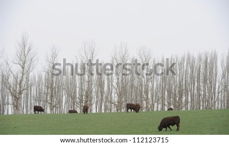 Sussex bulls on a South African beef ranch, kwazulu Natal,