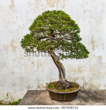 Suzhou, China - October 23, 2013: Bonsai tree in the Humble Administrator's Garden, a Chinese garden in Suzhou, a UNESCO World Heritage Site.