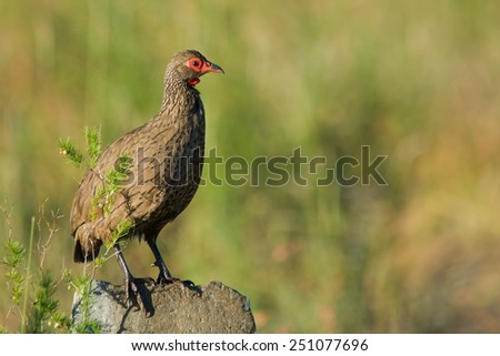 Swainson's Francolin (Pternistis Swainsonii) ~ at a Nature Reserve, South Africa - stock photo