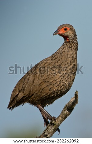 Swainson's Francolin (Pternistis Swainsonii) ~ Kruger National Park, South Africa - stock photo