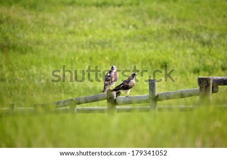 Swainson's Hawk (Buteo swainsoni)  - stock photo