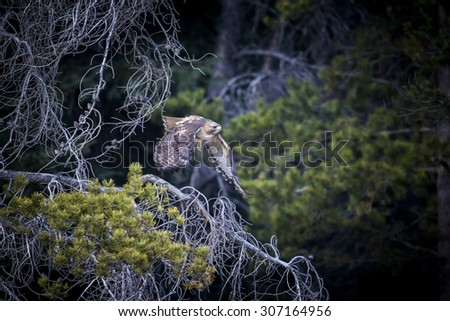 Swainson's Hawk flying through a pine forest - stock photo
