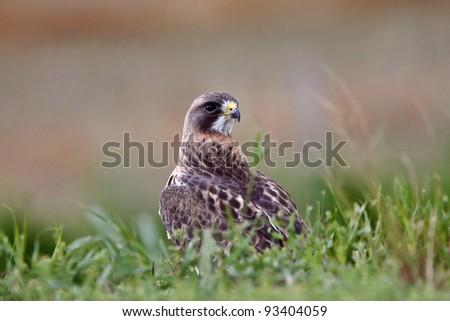 Swainson's Hawk on ground - stock photo