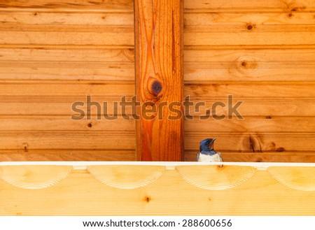 Swallow bird under a wooden shelter. - stock photo