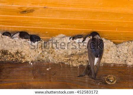 Swallow chicks in the nest. Swallow-mother flew to feed kids. - stock photo