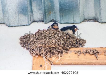 swallow in flight feeds the baby birds - stock photo
