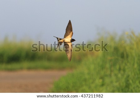 Swallow in flight over road - stock photo