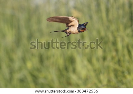 Swallow is in its beak a blade of grass, flying, spring - stock photo