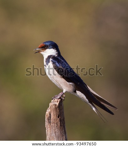 swallow on perch