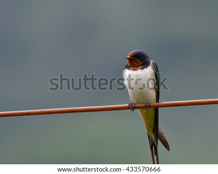swallow on wire - stock photo